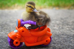 Duckling Motorcycle Dude Stock Images