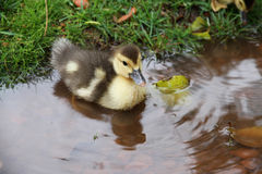 Duckling of Muscovy Duck  floats in a pool Royalty Free Stock Images