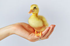 A Duckling in my Hand! Royalty Free Stock Images