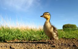 Duckling in nature Royalty Free Stock Images