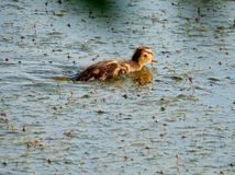 Cub of a wild duck. royalty free stock photos