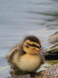 Duckling one step to shore. Royalty Free Stock Image