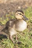 A duckling at the Ornamental Pond, Southampton Common royalty free stock images