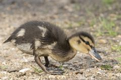 A duckling at the Ornamental Pond, Southampton Common royalty free stock photos
