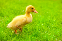 Duckling outdoor running  on green grass Royalty Free Stock Images
