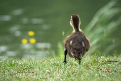 Duckling at pond Stock Photos