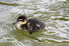 Duckling in a pond. Duckling swimming in a pond Royalty Free Stock Photography