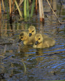 Duckling pond. Baby ducklings on the water Stock Photography