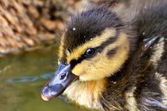 Duckling portrait