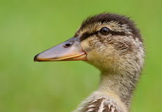Duckling portrait Stock Image