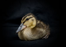 Duckling portrait royalty free stock photography