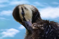 Duckling preening Stock Photography