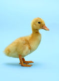 Duckling profile Royalty Free Stock Photo