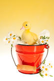 Duckling in red bucket Royalty Free Stock Photo