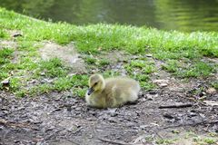 Duckling resting by a stream stock photos