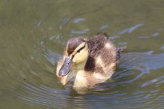 Duckling on a river. Mallard duckling swimming on a river Royalty Free Stock Images