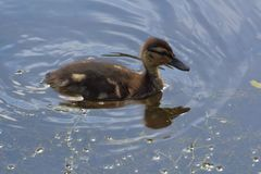 Duckling on a river. Mallard duckling swimming on a river during summer Stock Photo