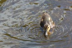 Duckling on a river. Mallard duckling swimming on a river Royalty Free Stock Photos