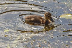 Duckling on a river. Duckling swimming on a river during spring Royalty Free Stock Photo