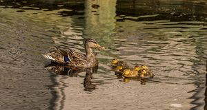 Duckling rove call all lined up royalty free stock photo
