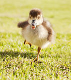 Duckling in the run. Duckling running through grass park Stock Photography