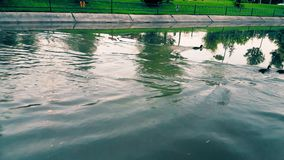 Duckling running on the water while swimming against�water�flow. In the canal stock video footage