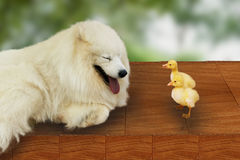 Duckling and Samoyed Stock Image