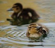 Duckling Royalty Free Stock Photos