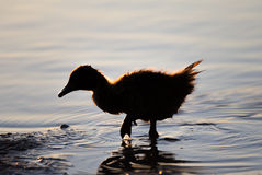 Duckling silhouette Stock Photos