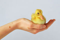 A Duckling Sitting in my Hand! Stock Image