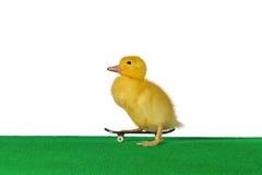 Duckling skate stock image