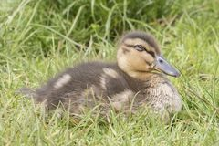 A duckling sleeping  in the grass Royalty Free Stock Photography