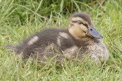 A duckling sleeping in the grass stock photo