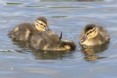 Duckling sleeping stock image