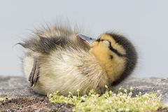 A duckling asleep on Southampton Common stock photography