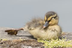 A duckling asleep on Southampton Common royalty free stock photo