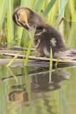 A duckling sleeping at the Ornamental Pond, Southampton Common royalty free stock images
