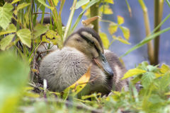 The duckling is sleeping Royalty Free Stock Image