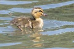 A duckling on Southampton Common stock photos