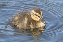 Duckling on Southampton Common Stock Image