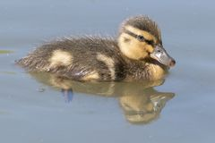 A duckling on Southampton Common royalty free stock images