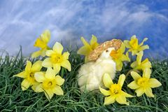 Duckling in spring daffodils Royalty Free Stock Image