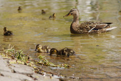 Duckling in Spring with Mother Stock Images