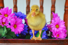 Duckling Standing on a Chair Royalty Free Stock Images