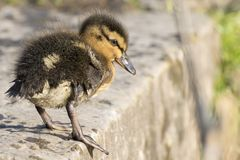 A duckling standing on the edge of the pond royalty free stock images