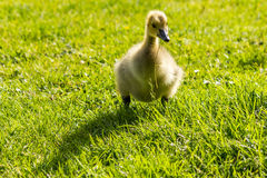 Duckling standing on the green fiels outside. With a blade of grass in its beak Royalty Free Stock Images
