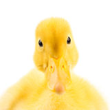 Duckling standing and looking Stock Photos