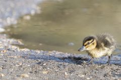 A duckling standing on the edge of the pond stock photo