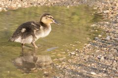 A duckling standing in a puddle royalty free stock images