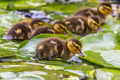 Duckling standing on a water lily leaf. Duckling in a water near lily leaf Stock Photos